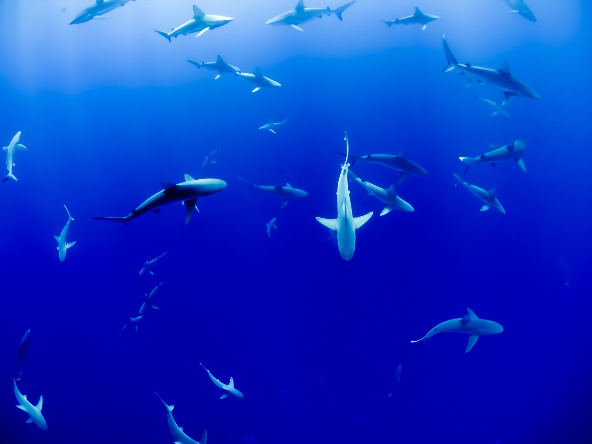 Underwater life showing sharks